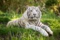 Картинка белый тигр, трава, кошка