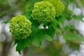 Картинка листья, зеленые клубочки, ветка, цветы