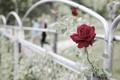 Картинка роза, цветок, забор