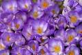 Картинка фиолетовый, макро, весна, крокусы