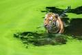 Картинка охота, вода, тигр, кошка