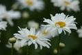 Картинка поле, лето, макро, цветы, ромашки, лепестки, белые
