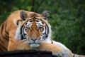 Картинка тигр, дерево, отдых, взгяд, красавец