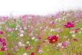 Картинка розовые, лето, поле, лепестки, ярко, поляна, полевые