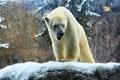 Картинка зима, белый, природа, хищник, мощь, медведь