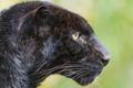 Картинка кошка, пантера, леопард, профиль, ©Tambako The Jaguar