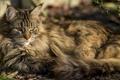 Картинка кот, взгляд, пушистый, лежит, котяра