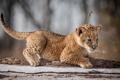 Картинка кошка, взгляд, львенок