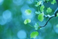Картинка листва, весна, ветка, макро, боке