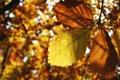 Картинка осень, листопад, листва, жёлтый, листок, листья, листки