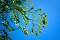 Картинка небо, листья, природа, ветка, акация