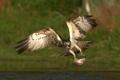 Картинка птица, крылья, рыба, когти, водоем