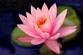 Картинка кувшинка, стебель, розовая, вода, лепестки, листья, цветок