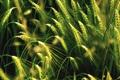 Картинка поле, природа, колоски, зеленые
