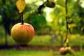 Картинка осень, макро, яблоко