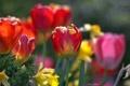Картинка яркие, тюльпаны, много, разные