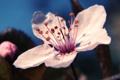 Картинка цветок, вишня, лепестки, макро, весна