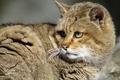 Картинка кот, predator, moustaches, cat, хищник, усы