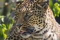 Картинка язык, морда, ©Tambako The Jaguar, кошка, леопард