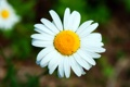 Картинка цветок, макро, ромашка