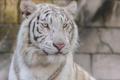 Картинка дикая кошка, белый тигр, морда, хищник, портрет