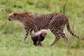 Картинка Masai Mara National Reserve, Kenya, animal, Gepard, nature, Cheetah