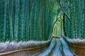 Картинка Киото, Япония, дорога, бамбук, снег, Арасияма