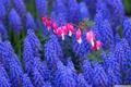 Картинка Цветы, Цвет, Поле, Синий