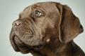 Картинка brown, dog, puppy, gaze, boxer, stare