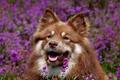 Картинка собакак, поле, цветы