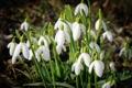 Картинка цветок, цветы, природа, весна, подснежники, белые, первоцвет