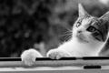 Картинка кошка, взгляд, морда, лапы, внимание