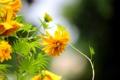 Картинка макро, цветы, желтые