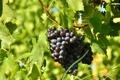 Картинка листья, гроздь, виноград, солнечно