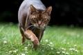 Картинка лето, трава, глаза, кот, усы, котэ