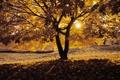 Картинка закат, опавшие, солнце, осенний вечер, поляна, дерево, листья