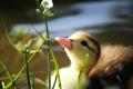 Картинка трава, вода, пруд, клюв, утка, утенок