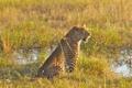 Картинка болото, леопард, Африка, дельта, Ботсвана, Окаванго