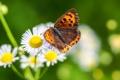 Картинка поле, цветы, бабочка, растение, лепестки, мотылек