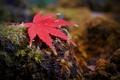 Картинка осень, макро, лист, мох