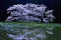 Картинка вишня, дерево, весна, цветение, Cherry Blossoms, sakura