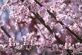 Картинка дерево, розовый, Сакура