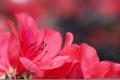 Картинка цветы, розовая, размытость, Azalea, Азалия