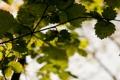 Картинка зелень, листва, дерево, яркая, свет, сочно, ветка