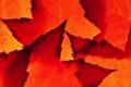 Картинка осень, листья, природа, лист, цвет, клен, багрянец