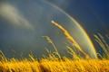 Картинка трава, небо, природа, поле, радуга, колосистая