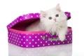 Картинка кошка, белый, пушистый, чемодан, котёнок