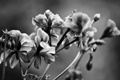 Картинка цветы, природа, чёрно-белое, растения, лепестки, стебли. листья