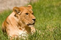 Картинка кошка, трава, солнце, отдых, львица