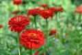 Картинка цветы, flowers, red zinnia, красная цинния